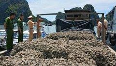 Tin nhanh - Quảng Ninh: Bắt giữ vụ vận chuyển 30 tấn hàu giống không rõ nguồn gốc