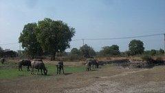 Đầu tư - Cám cảnh dự án công viên nửa tỷ USD thành nơi chăn thả trâu bò