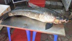 Video - Clip: Bắt được cá trắm đen nặng 42kg ở hồ Thác Bà
