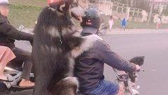 Mới- nóng - Dân mạng phát sốt với cảnh chú chó đội mũ bảo hiểm được đưa đi dạo bằng xe cub