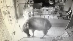 Mới- nóng - Clip: Trâu 'điên' húc người rồi lao vào phá tiệm vàng ở Thái Nguyên