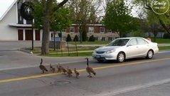 Mới- nóng - Đàn ngỗng nối đuôi nhau qua đường và hành động bất ngờ của tài xế
