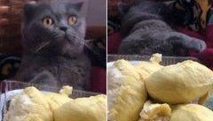 Giải trí - Clip: Chú mèo lăn quay ra ngất xỉu khi ngửi mùi sầu riêng