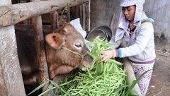 Tiêu dùng & Dư luận - Nghịch cảnh trâu bò được vỗ béo bằng nước mắt người nông dân