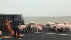 Xa lộ - Clip: Lật xe tải trên cao tốc 5B, hàng chục con lợn chạy ra đường