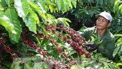 Đầu tư - Vì sao cà phê, hồ tiêu, cao su rớt giá tại Tây Nguyên?