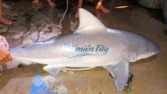Xã hội - An Giang: Dân bắt được cá mập 'khủng' rao bán 500 ngàn đồng