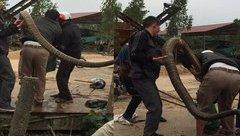 """Tin nhanh - Bắt được rắn """"khủng"""" nặng gần 20kg gần xưởng gỗ ở Vĩnh Phúc"""