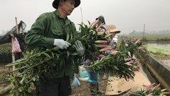 Xã hội - Dân Tây Tựu mất trắng hàng trăm triệu đồng khi hoa ly rớt giá thảm sau Tết