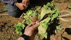 Dân sinh - Lâm Đồng: Virus tấn công vườn rau gây thiệt hại nặng cho nông dân