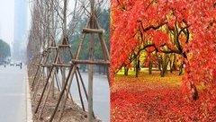 Xã hội - Cây phong lá đỏ trồng ở Hà Nội có giá cực đắt trên thị trường