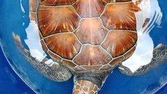 Môi trường - Huế: Ngư dân giải cứu con rùa quý hiếm bị mắc vào nò sáo
