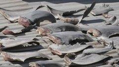 Tiêu điểm - Đại sứ quán Việt Nam tại Chile thông tin về vụ phơi vây cá mập