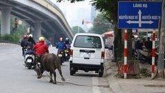 Mới- nóng - Clip: Trâu điên hoảng loạn đuổi theo người trên phố Hà Nội