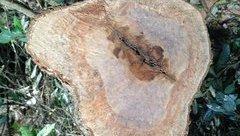 """Điểm nóng - Tái diễn tình trạng """"xẻ thịt"""" rừng đặc dụng trong VQG Cúc Phương"""