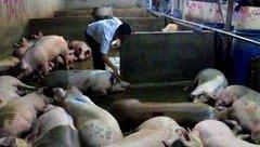 Xi nhan Trái Phải - Nghịch lý: Dùng thuốc để.. an thần cho lợn, bất an cho người