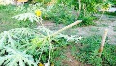 An ninh - Hình sự - Kẻ gian chặt phá 400 cây ăn quả của người dân ở Hải Dương