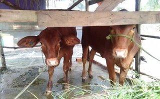 Chính trị - Xã hội - Vĩnh Long: Nguy cơ bùng phát dịch lở mồm long móng từ bò dự án