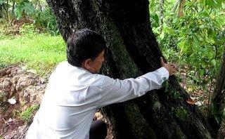 Chính trị - Xã hội - 'Mục sở thị' cây hồng nhung 100 tuổi quý hiếm ở Vĩnh Long