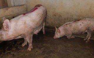 Môi trường - Vụ dân tố cơ sở giết mổ phát dịch: Lợn dương tính bệnh lở mồm long móng