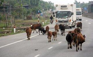 Xã hội - Hà Tĩnh: Để trâu bò 'tung tăng' trên quốc lộ sẽ bị xử phạt nặng