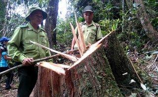 An ninh - Hình sự - Tin nóng: Khởi tố thêm 2 kiểm lâm vụ 189 cây pơ mu bị đốn hạ ở Nghệ An