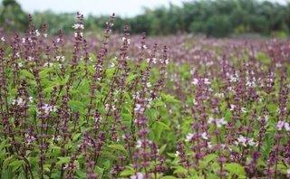 Mới- nóng - Clip: Sự thực về cánh đồng 'hoa Lavender' ở ngoại thành Hà Nội