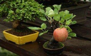 Mới- nóng - Clip: Táo bonsai gây sốt thị trường cây cảnh  chơi Tết ở Hà Nội