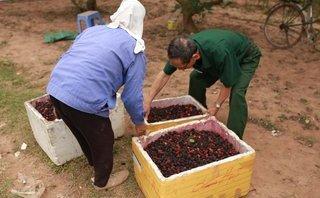 Mới- nóng - Clip: Giá tăng gấp 3, người dân trồng dâu ở Hà Nội vẫn than trời