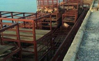 Môi trường - Quảng Ninh: Tiêu hủy gần 7 tấn lợn chết, đang phân hủy