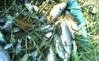 An ninh - Hình sự - Nông dân khóc ròng vì bị kẻ xấu dùng thuốc sâu, thuốc diệt cỏ đầu độc cá và lúa