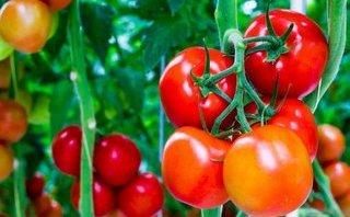 Làm đẹp - Tác dụng kép của quả cà chua: Chữa ung thư vú và làm đẹp