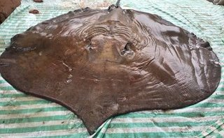 Video - Clip: Cận cảnh cá đuối 'khủng' nặng 216kg, chiều dài 3,2m