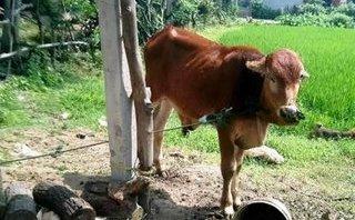 Tin nhanh - Lập đoàn kiểm tra vụ cán bộ xã 'phát' bò chính sách cho người nhà bán làm thịt