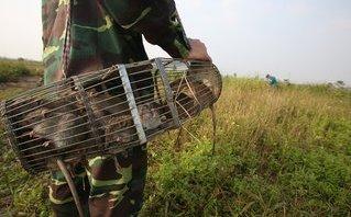 Mới- nóng - Clip: Bắt chuột đồng để giải trí, tăng thu nhập ở Hà Nội
