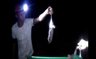 Mới- nóng - Clip: Nông dân Cà Mau săn chuột đồng chế biến đặc sản ngày Tết