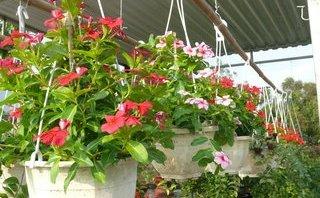 Xã hội - Nhộn nhịp chợ hoa Cà Mau những ngày cận Tết Nguyên đán