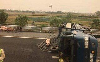 Tin nhanh - Xe tải lật,  hàng chục con lợn chạy ra đường cao tốc Hà Nội - Hải Phòng