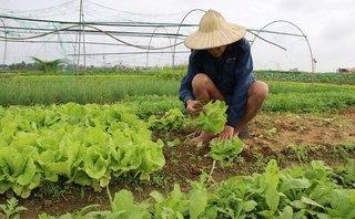 Mới- nóng - Làng rau sạch La Hường tất bật cho thị trường Tết Nguyên đán