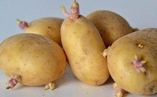 Đời sống - Hậu quả khôn lường nếu ăn phải khoai tây mọc mầm