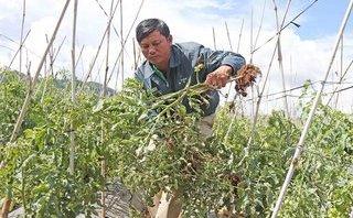Xã hội - Truy tìm virus lạ khiến hàng ngàn ha cà chua chết ở Lâm Đồng