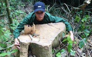 Điểm nóng - Vụ lâm tặc xẻ thịt rừng xanh Xuân Chinh: Dân đốn gỗ về sửa nhà?