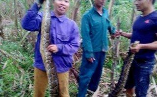 Xã hội - Người dân Nghệ An vây bắt được 2 con trăn gấm quý hiếm trong ruộng mía