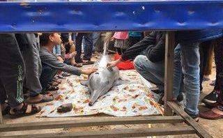 Xã hội - Nghệ An: Cá heo trắng chết dạt bờ ngày vía Thần Tài
