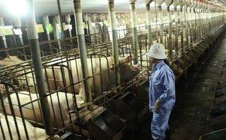 Đầu tư - 'Ông lớn' thực phẩm Dabaco 'ngậm đắng' vì giá lợn