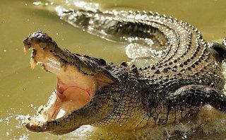 Tin nhanh - Kiểm tra thông tin phát hiện cá sấu nổi trên sông Ông Đốc