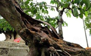 Xã hội - Cây sưa đỏ bonsai rao bán giá 1,4 tỷ đồng có gì đặc biệt?