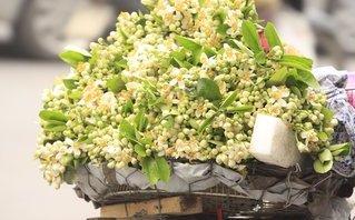 Chùm ảnh: Mùa hoa bưởi ngập tràn sắc xuân Hà Nội