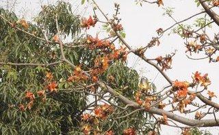 Dân sinh - Chùm ảnh: Nao lòng sắc hoa gạo đỏ rực trời thương nhớ tháng Ba Hà Nội