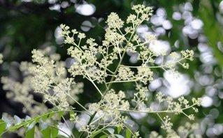 Mùa về, nghe hương hoa dâu da xoan